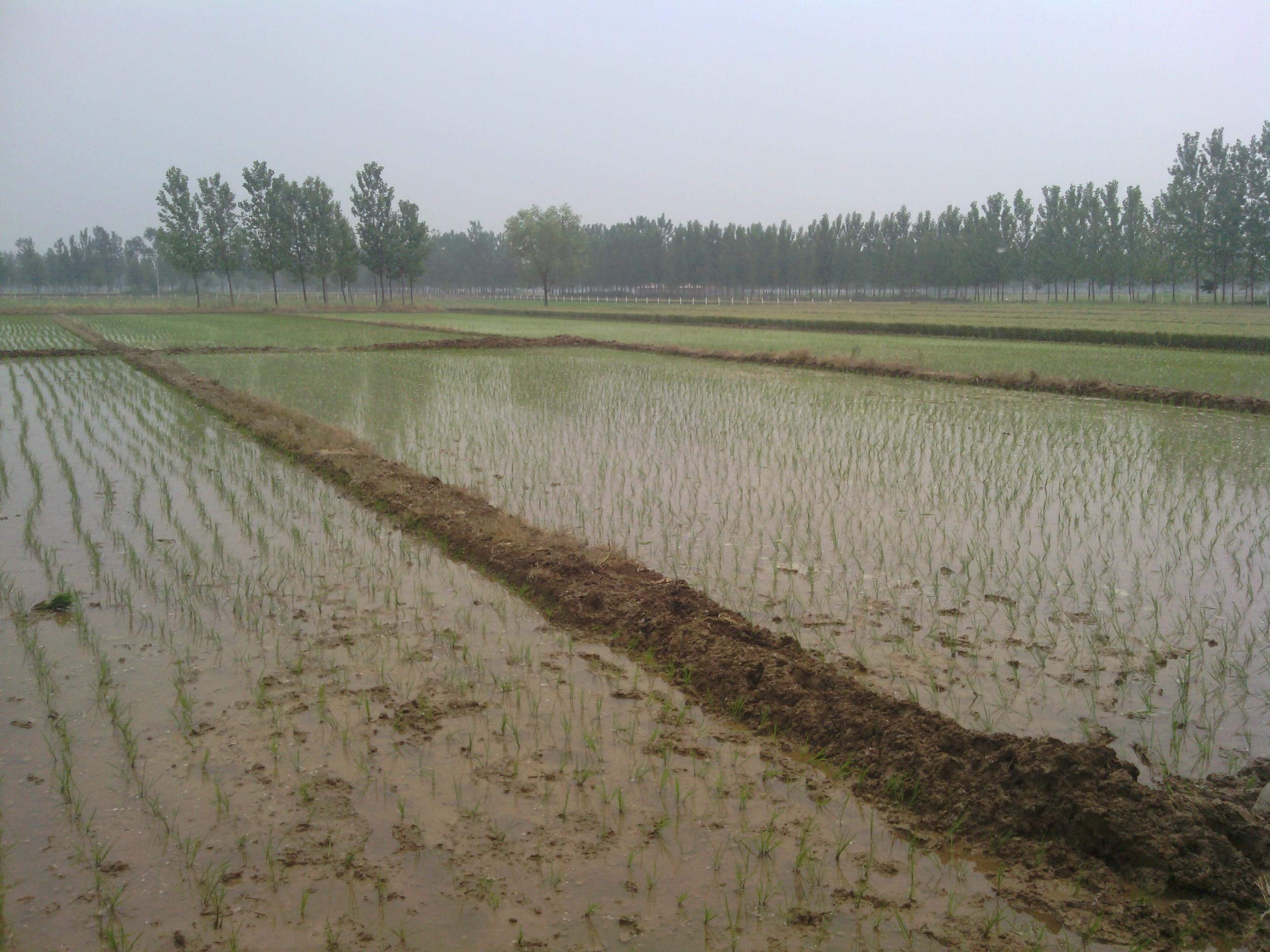 王楼乡稻鸭共作基地水稻插秧工作已展开